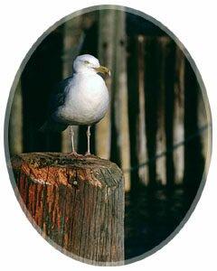 Sea gull, Grand Manan Island