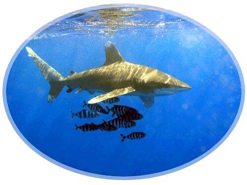 Oceanic Wite Tip Shark