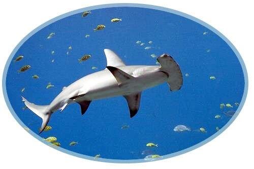Smooth Hammerhead Shark