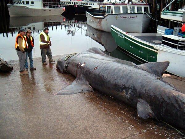 biggest shark ever caught
