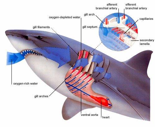 Shark Respiratory System Diagram