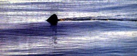 The fin of a basking shark