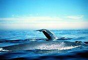 2 Blue Whales