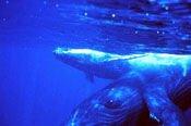 Humpbacks under water
